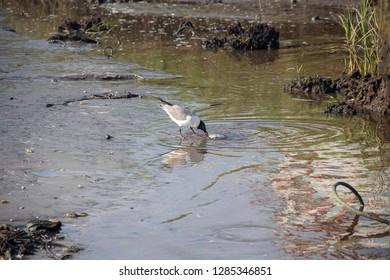 Bird eating crab on marshy riverbank