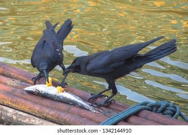 Bird eating fish carcass /Crow/Crow eating fish carcass/