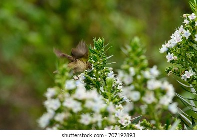Bird eating in flight on echium flowers, phylloscopus canariensis, Canary islands