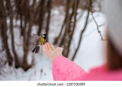 bird eats hands winter, the bird eats the grain in the hands of the man in the winter