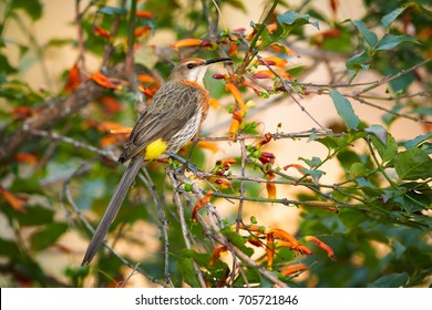 Bird endemic to southern Africa, colorful Gurney's sugarbird,  Promerops gurneyi,  perched in bush with red, trumpet shape flowers.