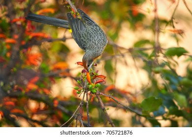 Bird endemic to southern Africa, colorful Gurney's sugarbird.