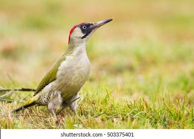 Bird - Eurasian Green Woodpecker - Picus viridis - Looking for something to eat