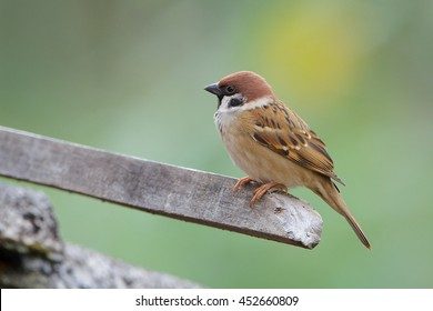 Bird. Eurasian Tree Sparrow.