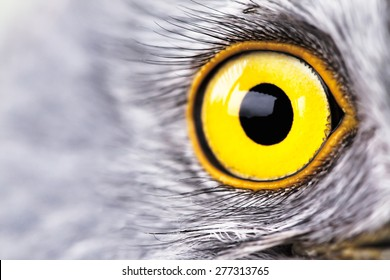 bird eye close-up, macro effect photo of Hen Harrier (Circus cyaneus)