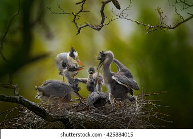 Bird family in the nest. Feeding scene during nesting time. Many young Grey herons.