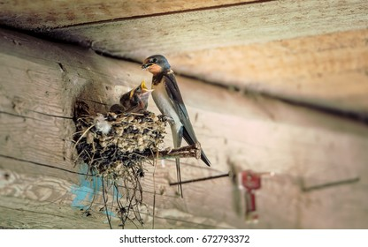 Bird family at nest. Feeding small birds, newborns. Swallow protecting newborn birds inside barn.