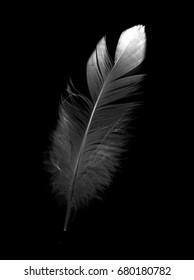 bird feather on black background