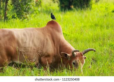 Bird feed cow