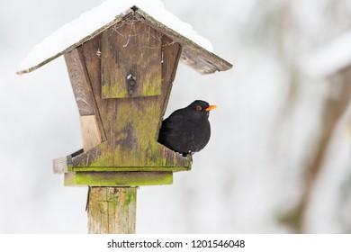 Bird feeders in the garden with a Blackbird in winter