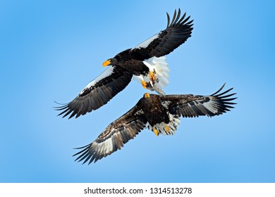 Bird with fish catch. Eagles fight on the blue sky. Wildlife action behavior scene from nature. Beautiful Steller's sea eagles, Haliaeetus pelagicus, flying birds of prey in winter, Hokkaido, Japan.