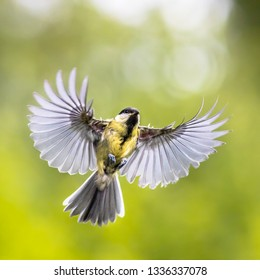 Bird in Flight. Great tit (Parus major) frontal view  just before landing with  stretched wings and spread feathers on green garden background with copyspace