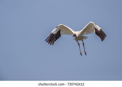 Bird in flight - Siberian crane (Grus leucogeranus)