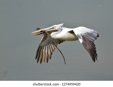 Bird in flight. Spot billed Pelican in flight with a nesting material. Close up with water background. Pelecanus philippensis or Grey Pelican in its natural habitat.