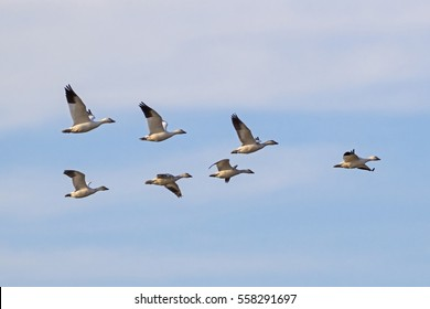 Bird flock of snow geese flying at Salton Sea preserve area in California