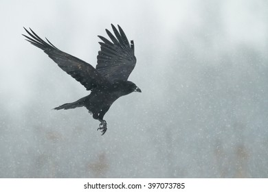 Bird - Flying Black Raven (Corvus corax) in winter time. Looking for something to eat. Landing on the snowy meadow.