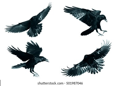 Bird - flying Common Ravens (Corvus corax) isolated on white background. Halloween - mix four birds