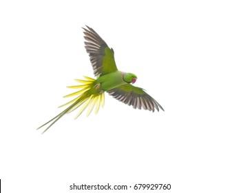 Bird flying isolated on white background, Alexandrine Parakeet (Psittacula eupatria) bird.