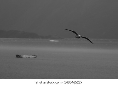 Bird Flying Over Water with Icebergs in Background Black and White
