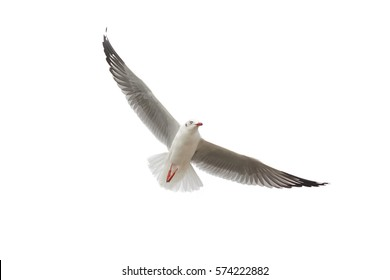 Bird Flying Seagull Isolated on White Background Sky Symbol of Freedom Concept