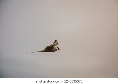 Bird flying in sky on overcast cloudy summer day in Iceland, vintage feel, copy space.