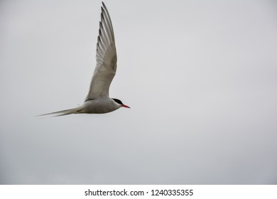 Bird flying in sky with wings wide open on overcast cloudy summer day in Iceland, copy space.