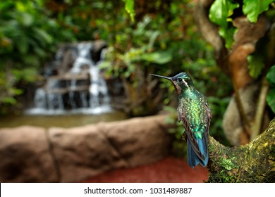 Bird with forest waterfall. Orange and green small bird from mountain cloud forest in Costa Rica. Purple-throated Mountain-gem, Lampornis calolaema, hummingbird from Costa Rica.