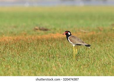 Bird in grass