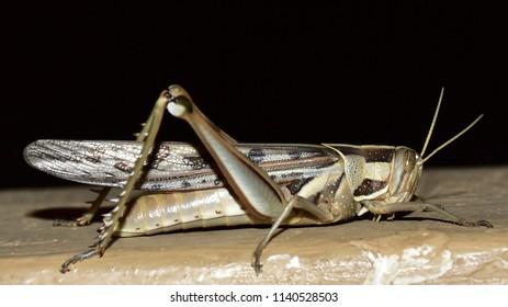 Bird Grasshopper (Ornithacris cyanea),Kruger national park,South Africa