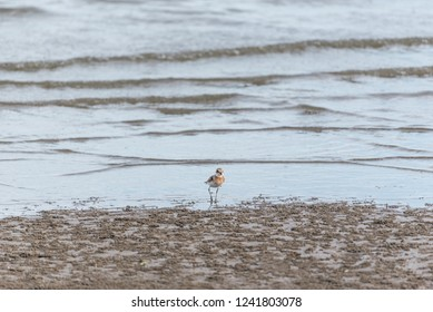 Bird (Greater sand plover, Charadrius leschenaultii) is a small wader in the plover family of birds at a sea in a nature wild