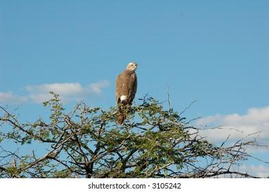 Bird (Hawk) sitting on top of a tree - blue skies in backgound
