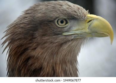 bird head eagle burial eagle sharp look on snow bokeh background