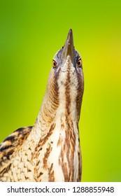 Bird heron. Green nature background. Bird: Bittern. Botaurus stellaris.