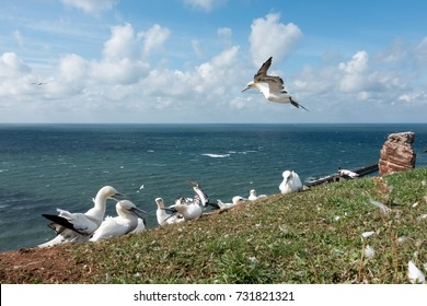 Bird hovering over the flock of northern gannets at nesting place on the red cliffs of Helgoland, Germany