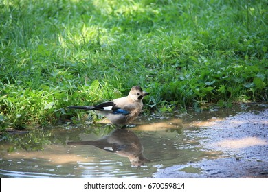 Bird jay bathes in the water in hot weather