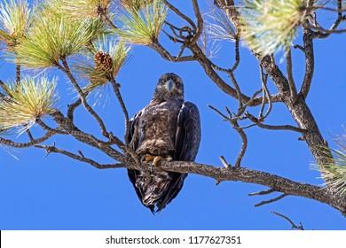 Bird juvenile bald eagle at Big Bear Lake in the California mountains