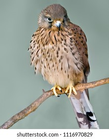 bird Kestrel genus falconers sit on a branch close-up