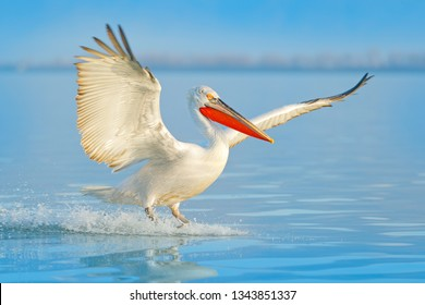 Bird landing to the blue lake water. Bird fly. Dalmatian pelican, Pelecanus crispus, landing in Lake, Turkey. Pelican with open wings. Wildlife scene from European nature.