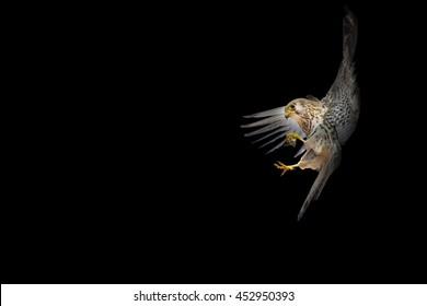 Bird landing. Flying falcon. Black background. Bird: Lesser Kestrel.