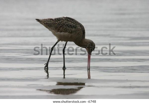 bird with long beak, long legs on the shore