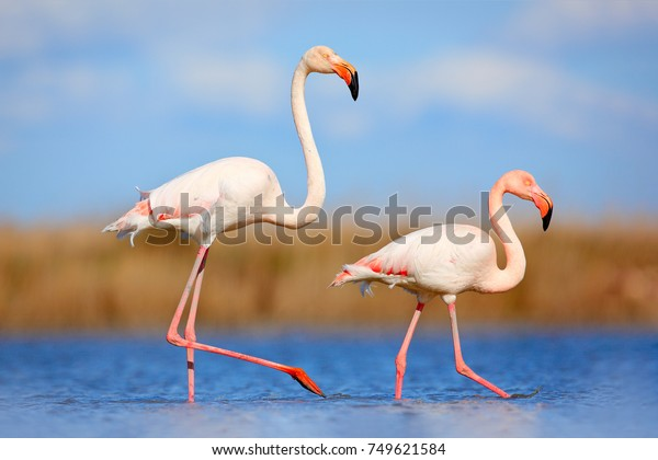 Bird love in blue water. Two animals, walking in the lake. Pink big birds Greater Flamingo, Phoenicopterus ruber, in the water, Camargue, France.