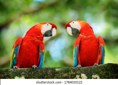Bird love. Pair of big parrots Scarlet Macaw, Ara macao, in forest habitat. Two red birds sitting on branch, Brazil. Wildlife love scene from tropical forest nature.