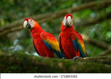 Bird love. Two red birds sitting on branch, Costa Rica. Wildlife love scene from tropical forest nature. Pair of big parrots Scarlet Macaw, Ara macao, in forest habitat.