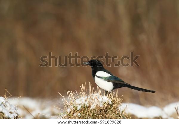 Bird - Magpie (Pica pica) in winter time