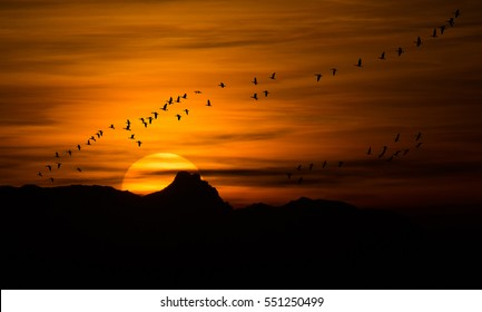 bird migration at sunset - greylag geese in Burgenland Austria