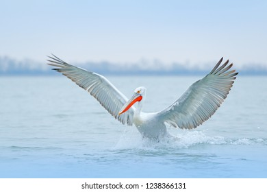 Bird with morning sunrise. Dalmatian pelican, Pelecanus crispus, in Lake Kerkini, Greece. Pelican with open wings. Wildlife scene from European nature. Bird and orange blue sky.