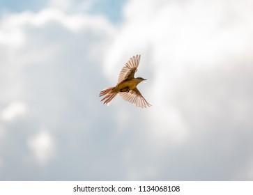 Bird Motacilla feldegg close look in the steppe