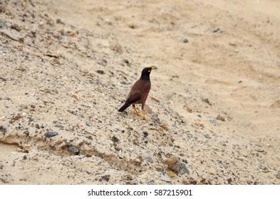 The bird Myna (Mynah) in an urban environment, Dubai