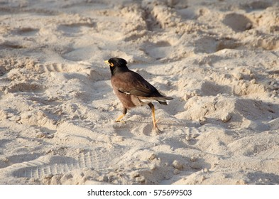 The bird Myna (Mynah)(Acridotheres tristis) is running on the wet sand of the beach.