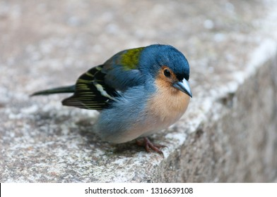 Bird named Fringilla coelebs or Common chaffinch, canariensis group from Madeira island, Portugal.